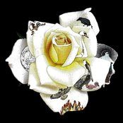 Year Of The White Rose