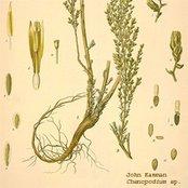 Chenopodium ep.