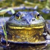 Bullfrog is King