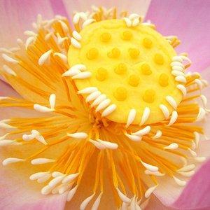 """""""The Lotus Petals""""的封面"""