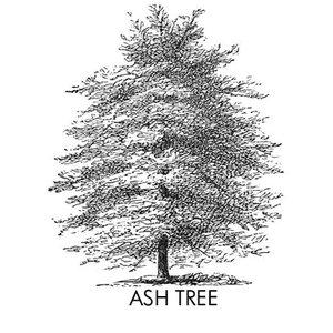 Immagine per 'Ash Tree'