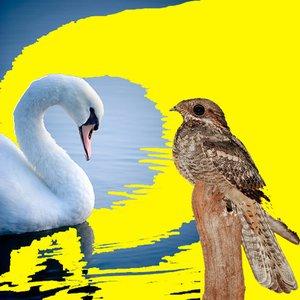Imagem de 'Swan-Nightjar'