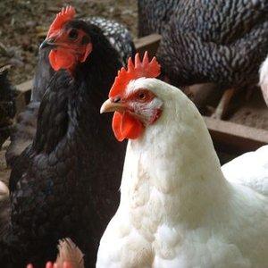 Bild för 'Chickens'