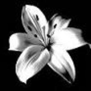 Image for 'White Lilium'