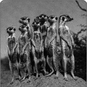 Image for 'Meerkat'