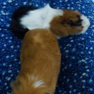 Image for 'Guinea Pigs'