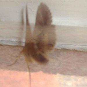 Image for 'Bogong Moth'