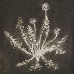 Image for 'Dandelion'