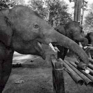 Bild för 'Thai Elephant Orchestra'