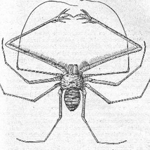 Image for 'Amblypygi'