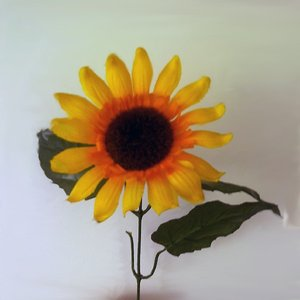 Image for 'Sunflowers'