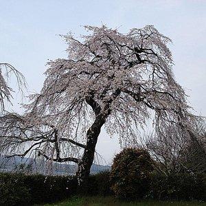 'Sakura Sakukoro'の画像