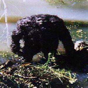 Immagine per 'Bigfoot'