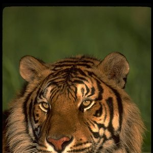 Image for 'Blaze Tiger'