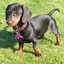 Avatar de dachshunds