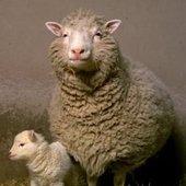 -SHEEP-