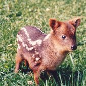 The Power Of The Pudu