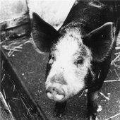 Swine Of Satan
