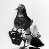 Carrier Pigeonz