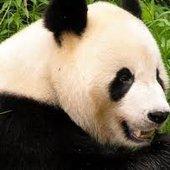 Love Pandarins