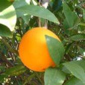 California Oranges