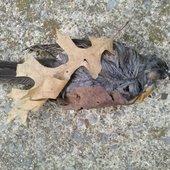 Little Brother Deadbird