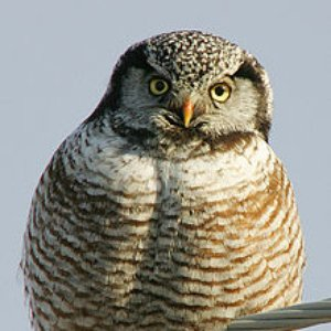 Image for 'Northern Hawk Owl'