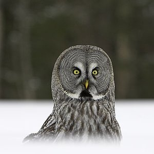 Image for 'Great Gray Owl'