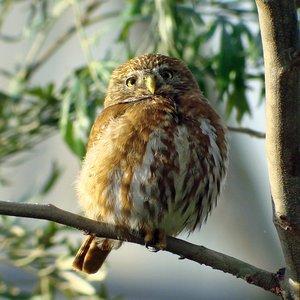 Image for 'Ferruginous Pygmy-Owl'