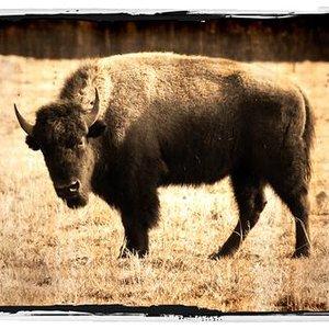 Bild för 'Buffalo Clover'