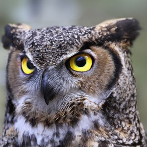 Immagine per 'Great Horned Owl'
