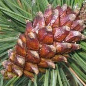 Image for 'Pinus Mugo'