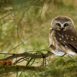 Image for 'Northern Saw-whet Owl'