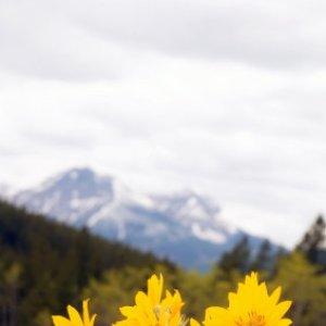 Image for 'Arnica Montana'