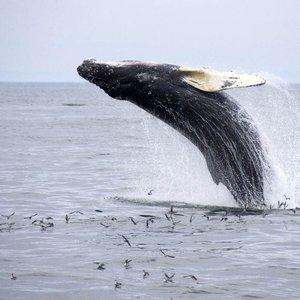 Bild für 'Humpback Whales'