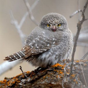 Image for 'Northern Pygmy-Owl'