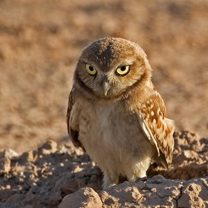 Image for 'Burrowing Owl'