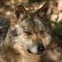 Avatar di The_Desert_Wolf