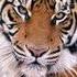 Avatar de tigerhexe