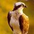 Avatar de ospreywatcher