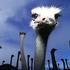Avatar de ostrichcized
