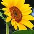 Avatar for Sunflower75