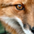 Avatar for ReddFox