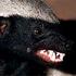 Avatar for badger_ratel