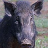 Avatar for pigshotgun