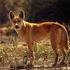 Avatar for dingofive